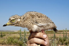 камень oedicnemus curlew burhinos Стоковая Фотография RF