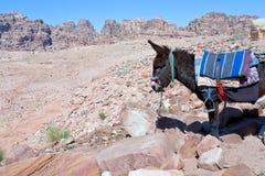 камень petra осла десерта бедуина Стоковая Фотография