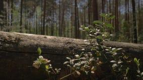 Камера двигает над землей и мухами над лежа деревом Лежа дерево на пути камеры Затруднения дальше сток-видео