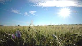 Камера двигает с зрелыми ушами пшеницы и рож на фоне голубого неба с ярким солнцем через поле сток-видео
