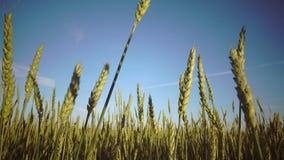 Камера двигает с зрелыми ушами пшеницы на фоне голубого неба к солнечному дню через поле видеоматериал