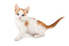 Камера котенка оранжевая и белая смотря Стоковое фото RF