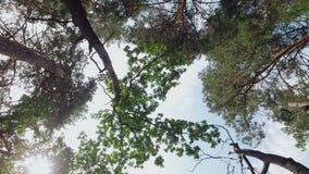 Камера повернула к небу и двигает вперед в лес, в верхних частях рамки сосен и дубы, солнце сияющие акции видеоматериалы