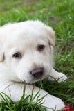 камера смотря на невиновного щенка Стоковая Фотография