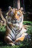 камера смотря тигра Портрет вертикально стоковое изображение
