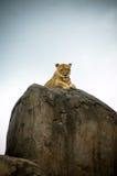 камеры вытаращиться льва вниз пиковый стоковое фото rf
