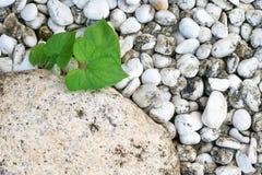 камни листьев белые Стоковые Фотографии RF