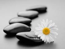 камни маргаритки Стоковая Фотография