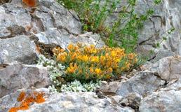 камни цветков растущие Стоковые Фото