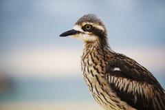 Камн-curlew Буша отдыхая на пляже Стоковое фото RF