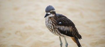 Камн-curlew Буша отдыхая на пляже Стоковое Изображение