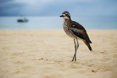 Камн-curlew Буша отдыхая на пляже Стоковая Фотография RF