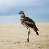 Камн-curlew Буша отдыхая на пляже Стоковые Изображения RF