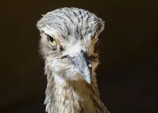 Камн-curlew Bush Стоковая Фотография RF