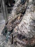 Камуфлирование жабы азиата общее на стволе дерева Стоковое Фото
