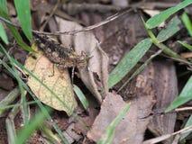 Камуфлирование саранчи на сухих листьях Стоковое Изображение RF