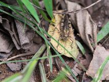 Камуфлирование саранчи на сухих листьях Стоковые Фотографии RF