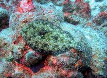 Камуфлирование flounder павлина полностью Стоковая Фотография RF