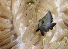 Камуфлируют рыб в черных и желтых тонах в кораллах в Мальдивах в окружающей среде Стоковое Изображение RF