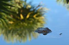 Камуфлирование американского аллигатора в воде Стоковое фото RF