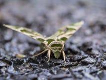 Камуфлирование бабочки Стоковое Изображение
