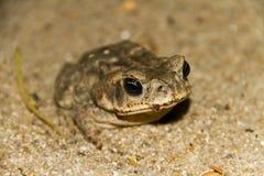 Камуфлирование жабы Стоковые Фото