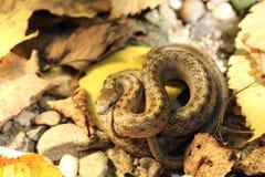Камуфлирование ровной змейки на земле леса осени Стоковое Фото