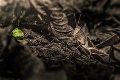 Камуфлирование саранчи Брайна Стоковое Фото