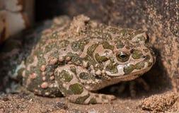 Камуфлирование лягушки Стоковые Фото