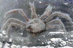 Камчатский краб в блоке льда Стоковые Изображения RF
