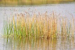 камышовая вода Стоковые Изображения RF