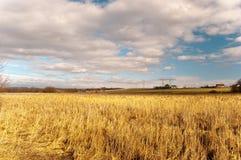 камышовый желтый цвет стоковые фотографии rf