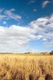 камышовый желтый цвет стоковая фотография