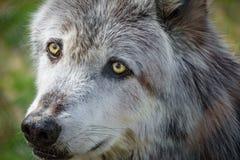 Канадская голова волка за загородкой Стоковая Фотография