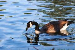 Канадская гусыня в пруде стоковое изображение rf