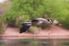 Канадская гусыня летания Стоковое фото RF