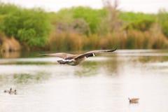 Канадская гусыня летания Стоковые Изображения