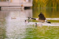 Канадская гусыня летания Стоковая Фотография RF