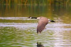 Канадская гусыня летания Стоковые Фотографии RF