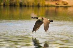 Канадская гусыня летания Стоковое Изображение