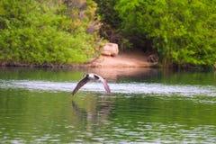 Канадская гусыня летания Стоковое Фото
