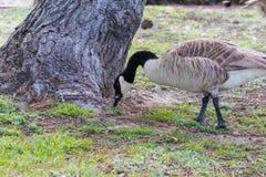 Канадская гусыня пася в парке южной Калифорнии Стоковые Фотографии RF
