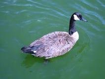 Канадская гусыня плавает на зеленую воду озера Стоковое фото RF