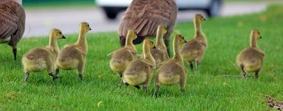 Канадская гусыня с цыпленоками, гусынями с гусятами идя в зеленую траву в Мичигане во время весны стоковая фотография