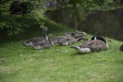 Канадская семья гусыни с гусынями младенца гусят aka Стоковые Фото