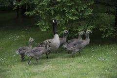 Канадская семья гусыни с гусынями младенца гусят aka Стоковые Фотографии RF