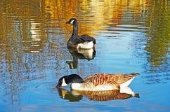 Канадские гусыни в отражательной воде Стоковое Фото