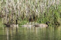 Канадские гусыни и гусята в северном Айдахо Стоковые Изображения RF