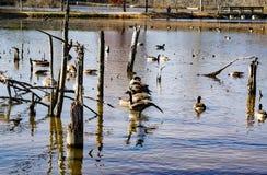 Канадские гусыни и утки на пруде - 2 крякв Стоковые Фотографии RF