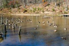 Канадские гусыни и утки на пруде - 3 крякв Стоковые Изображения RF